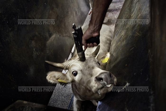 Tommaso Ausili - Slaughterhouse (World Press Photo 2010) foto 4