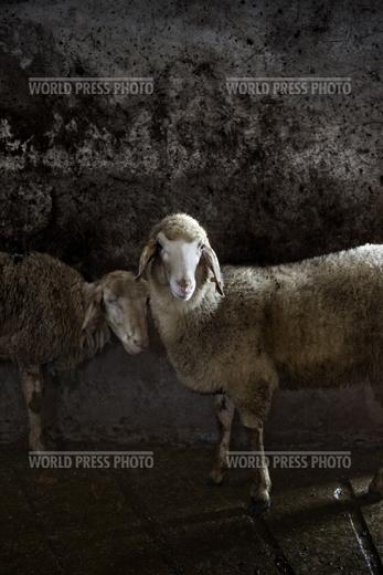 Tommaso Ausili - Slaughterhouse (World Press Photo 2010) foto 5