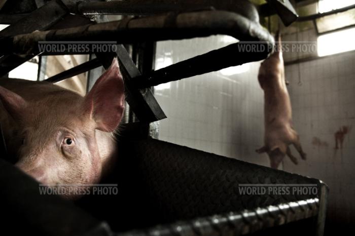 Tommaso Ausili - Slaughterhouse (World Press Photo 2010) foto 6