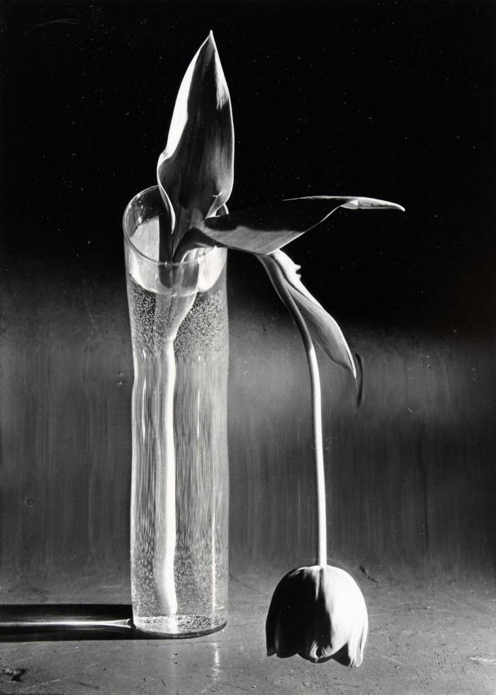 Andre Kertesz - Melancholic Tulip (1939)