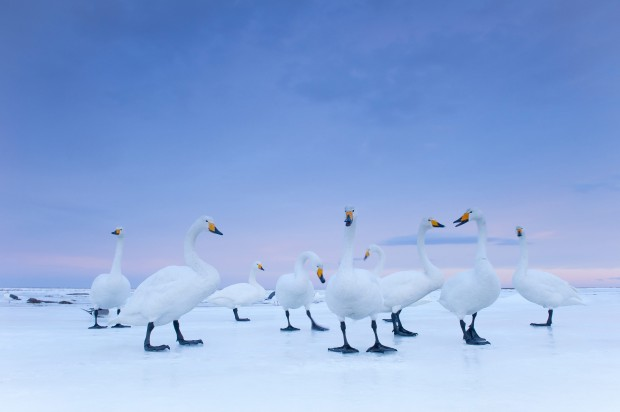 Nature: 2nd prize story. Stefano Unterthiner, Italia, for National Geographic magazine. Whooper Swan